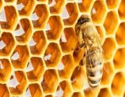 """""""الزراعة"""": تغذية النحل بالمحاليل السكرية أثناء تزهير المحاصيل مخالفة عقوبتها تصل إلى 5 آلاف ريال"""